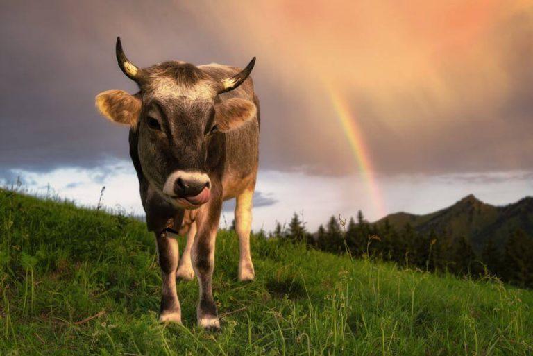 Panorama Allgäu Alpen Berge Kuh Braunvieh Vieh Rind Rinder Kühe Viehscheid Alp Alm Abtrieb Bergsommer Regenbogen Oberstdorf blauer Himmel Grüne Wiesen Oberallgäu