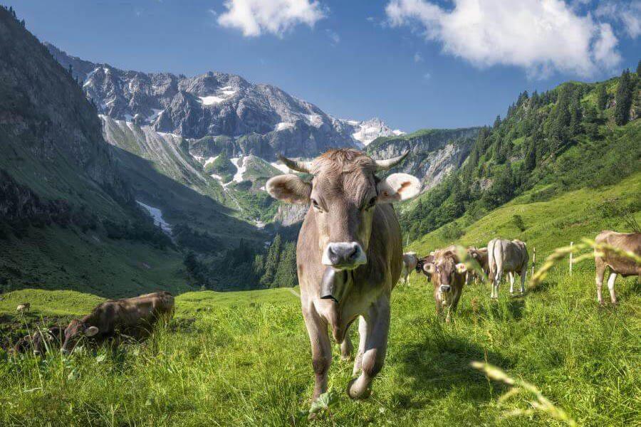 Landschaftsfotograf Jonathan Besler Kuh bild Allgäuer Alpen